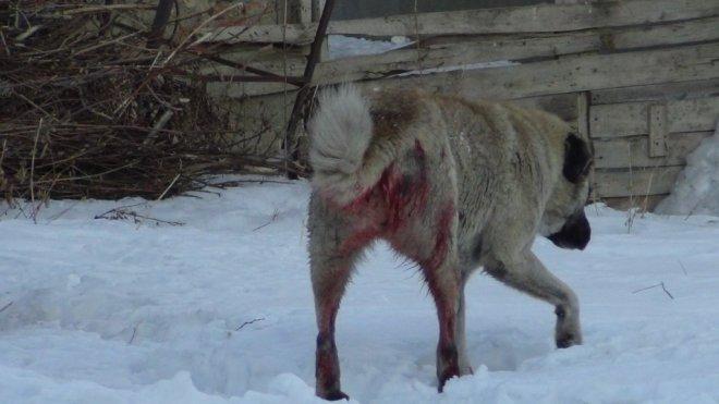 Bingöl'de Sahipsiz Sokak Köpekleri Vuruluyor