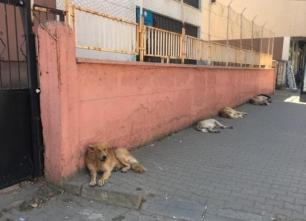 Başı Boş Köpekler Korku Salıyor